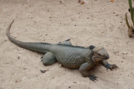 wildanimal: Rhinoceros Iguana