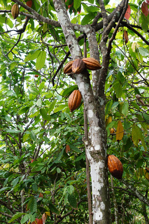 Cacao tree Stock Photo