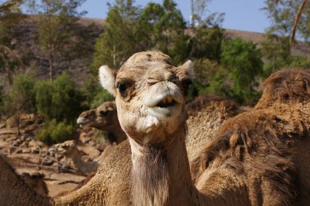 A camel to smooch Stock Photo