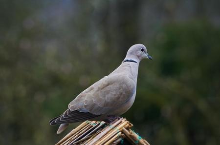 beak pigeon: Pigeon (Streptopelia decaocto) Stock Photo