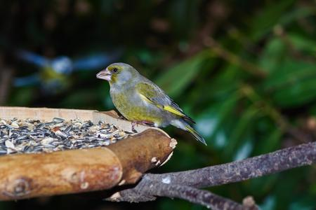 Green finch (Carduelis chloris)