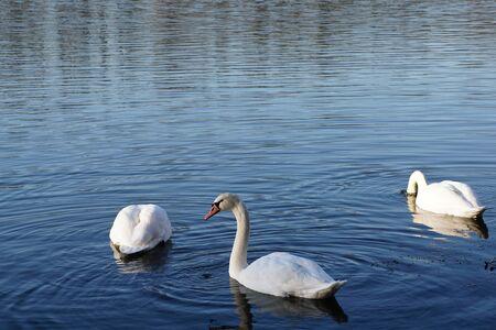Three swans on the lake Фото со стока - 87009445