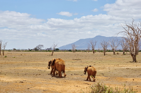 Three elephants in the dry savanna of Tsavo East Kenyat