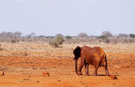 Mud-clad elephant at the waterhole of Tsavo East Kenya
