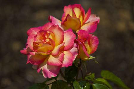 rosas amarillas: Dos flores en un parque botánico