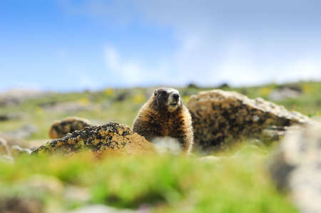 A yellow-bellied marmot sitting on a rock photo