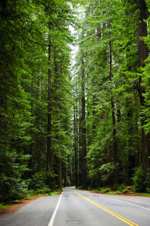 A windy narrow road disappearing into the redwoods photo