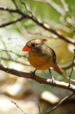 topknot: A southwestern Pyrrhulox, related to the Northern Cardinal Stock Photo