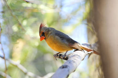 topknot: A pyrrhuloxia, relative of a Northern Cardinal perched on a branch Stock Photo