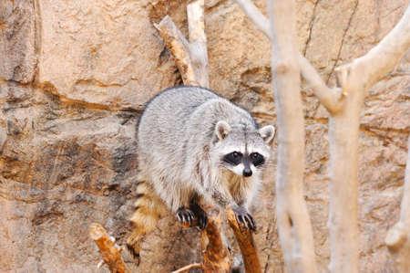 A raccoon walking across a log