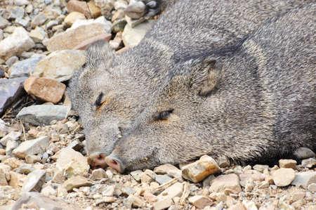 touching noses: Two javelinas enjoying a afternoon nap Stock Photo