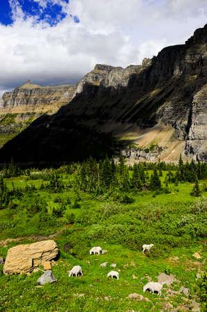 mountain goats: Mountain Goats pascolano in cima Logan Pass a Glacier National Park, Montana.  Archivio Fotografico