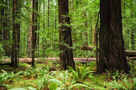 California redwood trees with green ferns