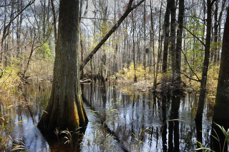 bayou swamp: Swamp in South Carolina on the little Pee Dee river