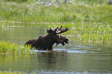 glacier national park: Bull moose drinking water in Glacier National Park