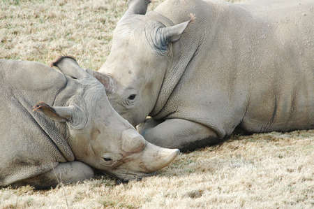 taking nap: A mother and baby Rhinoceros taking a nap Stock Photo