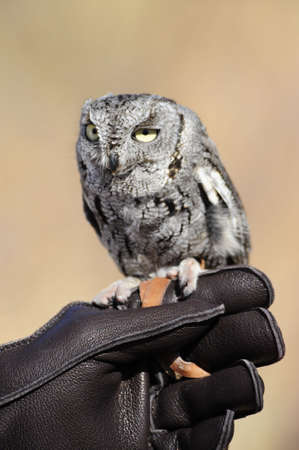 A small screech owl perched on a gloved handlers hand photo