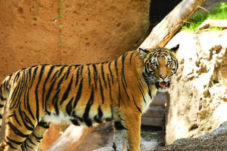 A large malayan tiger looking at the camera photo