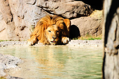 stone lion: A male lions having a drink of water