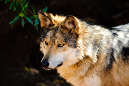 Portrait of a Mexican Gray wolf in captivity Stock Photo