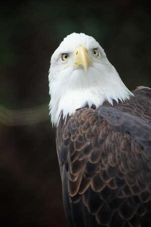 A portrait of an American bald eagle photo