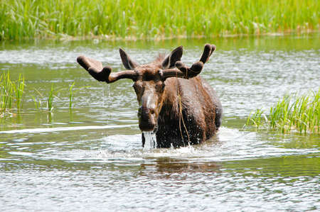 A bull moose with water running out of his mouth