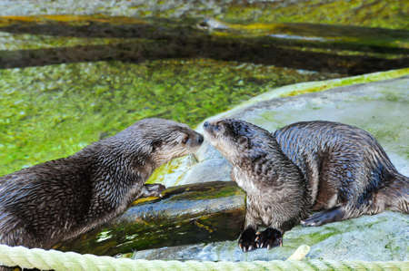 Two african spot necked otters touching noses Stock fotó