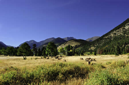 A herd of elk grazing in a meadow, rocky mountain national park photo