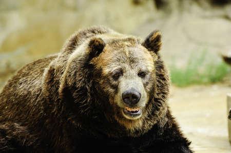An old grizzly bear enjoying the sun Stock Photo