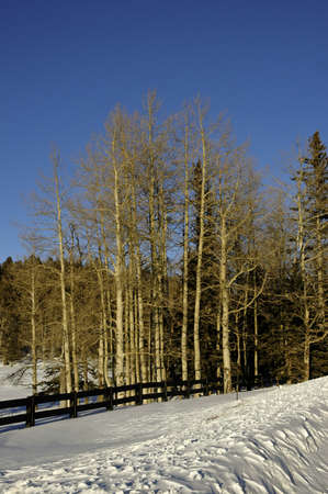 A grove of aspens in winter in the snow photo