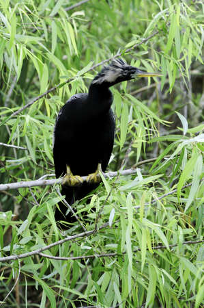 A Anhinga perched on a branch with his feathers blowing in the wind