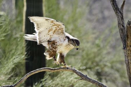 ferruginous: A large ferruginous hawk landing on a branch in the desert