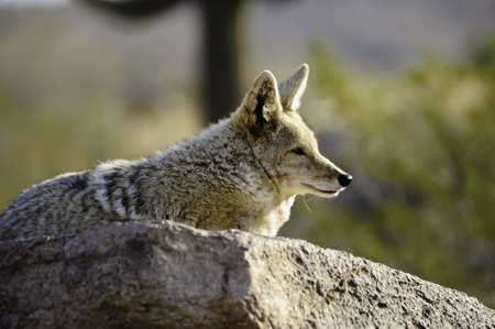 A coyote resting on a rock in the desert
