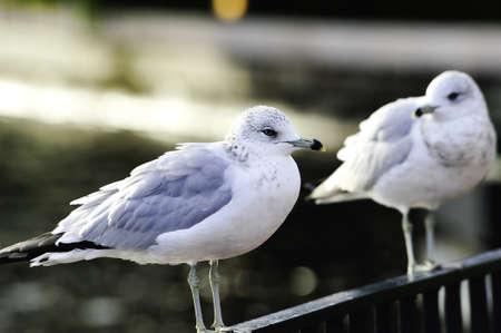 Twee geringd-billed meeuwen zittend op een hek Stockfoto