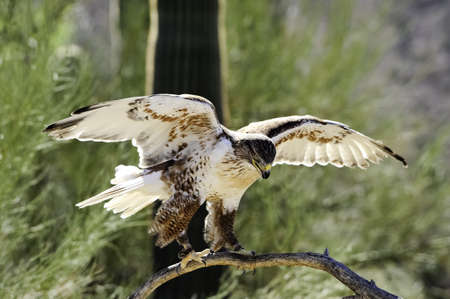 ferruginous: A ferruginous hawk with his wings outspread ready for flight