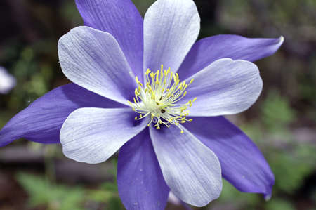 Close up of a blue columbine blooming Stock Photo