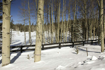 Snow covered field with aspen trees photo