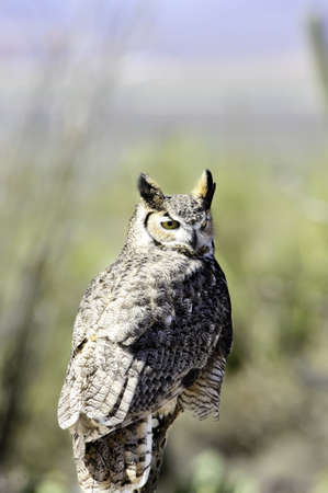 Portrait of a great horned owl perched in the desert