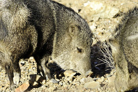 Two javelina rooting in the desert floor