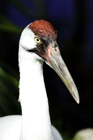 whooping: Portrait of a whooping crane with dark background Stock Photo