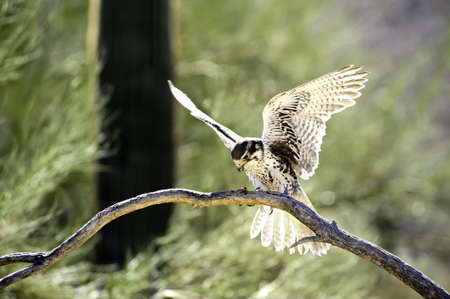 A prairie falcon with wings spread feeding