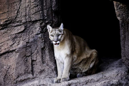 A mountain lion sitting in his cave photo