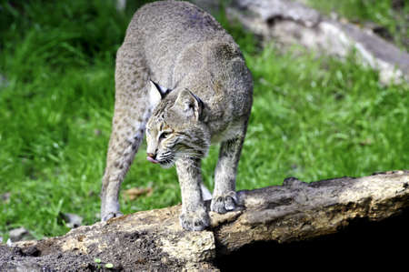 bobcat: Un pie de lince en un registro con su lengua Rosa fuera