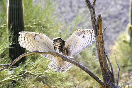 A great horned owl landing on a branch Foto de archivo