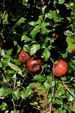 Several crab apples on a green tree Фото со стока