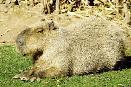 A south american capybara, or giant guinea pig, resting