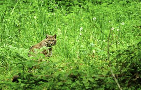 lince rojo: Un gato mont�s sentado en la hierba verde altura