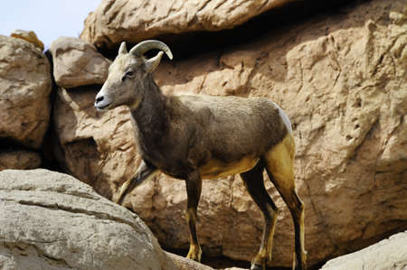 canadensis: A female Big Horn Sheep in the rocks Stock Photo