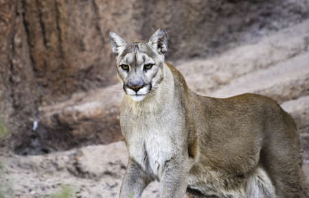 A mountain lion in the red rocks photo
