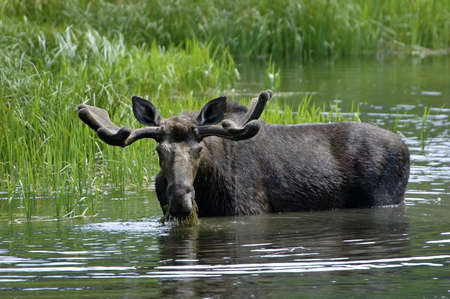 A bull moose eating and drinking in a pond Stock Photo